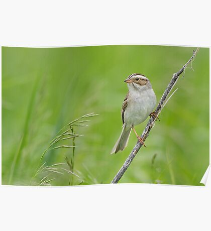 Clay-colored Sparrow in grassy habitat. Poster