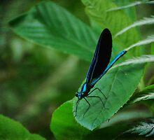 Ebony Jewelwing: Calopteryx Maculata by Victoria Jostes