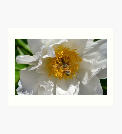 Bee loaded down with pollen, visiting a white peony  Art Print