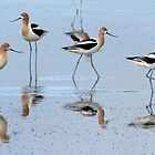 Avocet parade by Anthony Brewer