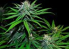 Sugary Buds by FloraDiabla
