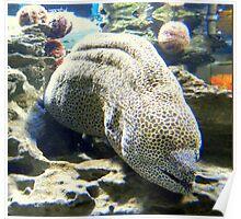 Honeycomb Moray Eel  ~  Paling Poster