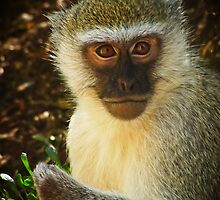 A Vervet Monkey  by SuzieCheree