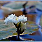 Aussie's Small Native Water lilly by Burnie
