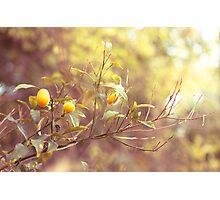 Branch of kumquats in spring garden Photographic Print