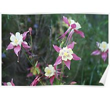 Pink and White Columbines Poster