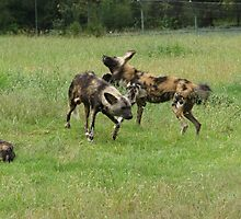 African Wild Dogs by cs-cookie