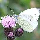 Green-veined White by DutchLumix