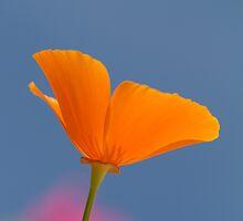 orange poppy by Carine LUTT