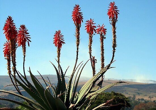 Aloes near Lydenburg by Elizabeth Kendall