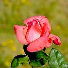 June rose by Franlaval