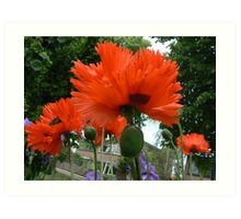 papaver and school Art Print