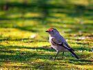 Female Red Capped Robin by Pene Stevens