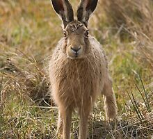 Brown Hare by Nigel Tinlin