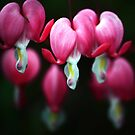 Bleeding Hearts by ChePhotography