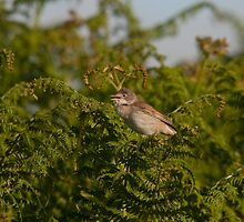 Whitethroat by Jon Lees