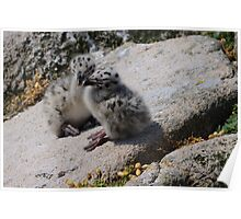 Great Black-backed Gull chicks, Saltee Island, County Wexford, Ireland Poster
