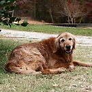 Golden Retriever by DebbieCHayes