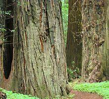 Redwood Tree Forest Trail art prints California Baslee Troutman by BasleeArtPrints