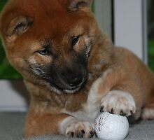 Momo-Our New Shiba Inu Pup by bunnij