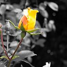 Yellow Rose 2 by TerryPatrick
