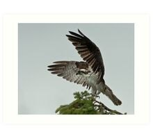 The Magnificence of the Osprey Art Print