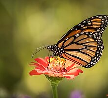 Monarch On Zinnia 9-2015 by Thomas Young