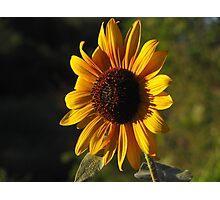 """Sunflower Soakin' It In"" Photographic Print"