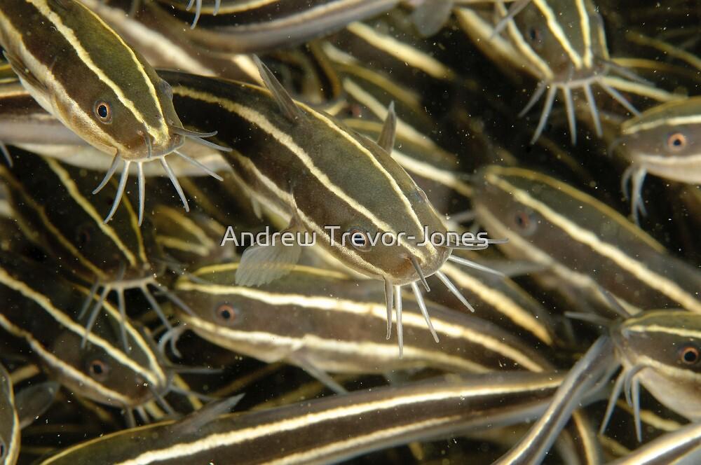 Juvenile Striped Catfish - Plotosus lineatus by Andrew Trevor-Jones