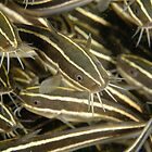 Juvenile Striped Catfish - Plotosus lineatus by Andrew Trevor-Jones