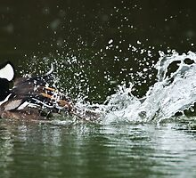 Turbo Duck (Hooded Merganser male) by PixlPixi