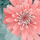 Zinnia In &quot;Soft&quot; by Catherine  Howell