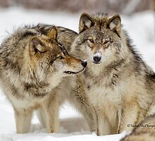 Timber Wolves and Arctic Wolves by Yannik Hay