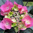 hydrangea IV by Faith Puleston