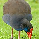 Swamphen Close Up by Robert Abraham