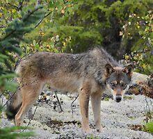 Wolf by Jeff Ashworth & Pat DeLeenheer