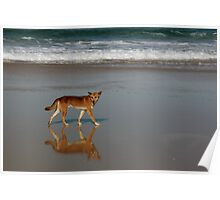 Dingo on the beach - Fraser Island, Queensland Poster