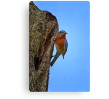 Male Eastern Bluebird With Insect Canvas Print