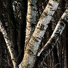 Quad Birch by Robert  Mackert