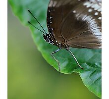 Black and Grey Blue Butterfly Photographic Print