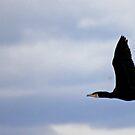 Flying Cormorant  by alistair simpson