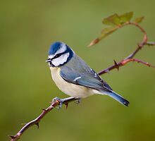Blue tit on rose branch by M.S. Photography/Art