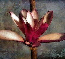 Japanese Tulip Magnolia by SuddenJim