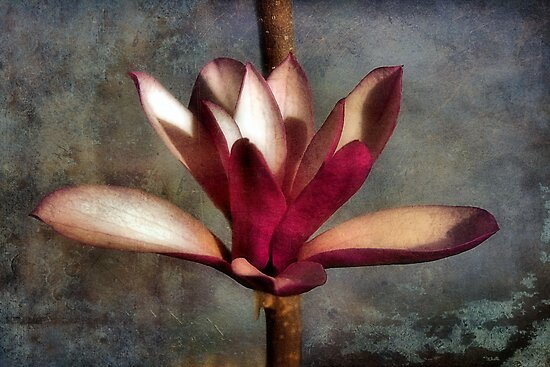 Japanese Tulip Magnolia by SuddenJim