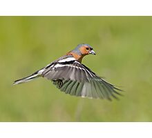Chaffinch in flight Photographic Print