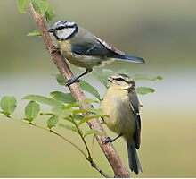 Blue tits ~ Siblings Photographic Print