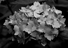 Hydrangea - Black & White by Chris Goodwin