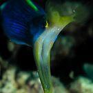Dragon Eel, Lembeh by shellfish