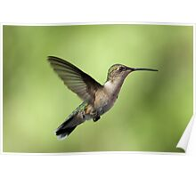 Another Hovering Hummingbird. Poster