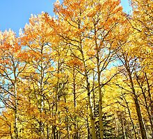 Fall Colors and Aspen Trees in Colorado by Amy McDaniel